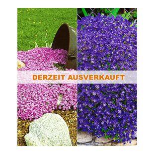 Bodendecker Polsterstauden-Kollektion rosa & blau 6 Pflanzen Blaukissen und Phlox