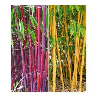 Bambus-Raritäten Kollektion,2 Pflanzen