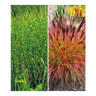 Pflegeleichte Ziergras-Kollektion,2 Pflanzen