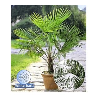 Winterharte Kübel-Palmen 2 Pflanzen, Hanfpalme Trachycarpus fortunei