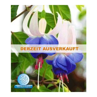 Winterharte Fuchsien 'Blue Sarah', 3 Pflanzen Fuchsia