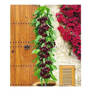 Säulenkirsche 'Garden Bing®', Kirschbaum 1 Pflanze, Prunus avium