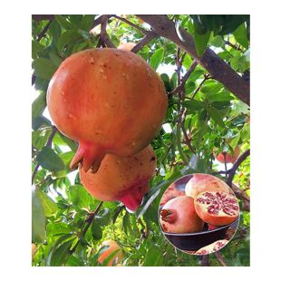Granatapfel, 1 Pflanze Punica granatum