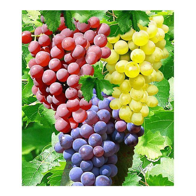 Etwas Neues genug Kernlose Tafel-Trauben-Kollektion Weinreben Sortiment kernlos, 3 #LN_64