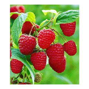 Rote Himbeeren TwoTimer® Sugana®, 3 Himbeerpflanzen, Rubus idaeus