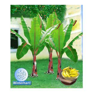 Winterharte Bananen 'rot', 1 Pflanze, Musa Basjoo Red