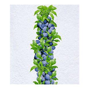 Säulen-Zwetschgen 'Anja®', Pflaumenbaum 1 Pflanze, Prunus domestica