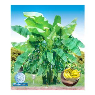 Winterharte Bananen 'grün', 1 Pflanze, Musa basjoo