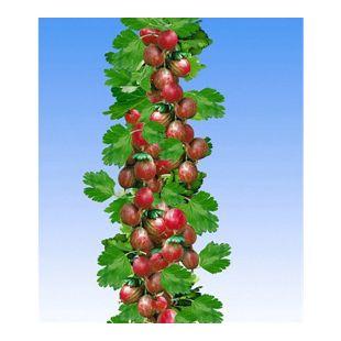 Rote Säulen-Stachelbeeren, 1 Pflanze, Ribes uva-crispa