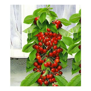 Säulen-Süßkirschen 'Helena®', Kirschbaum 1 Pflanze