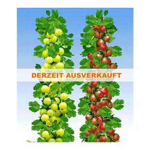 Säulen-Stachelbeeren Kollektion, 2 Pflanzen Säulenobst Beerenobst