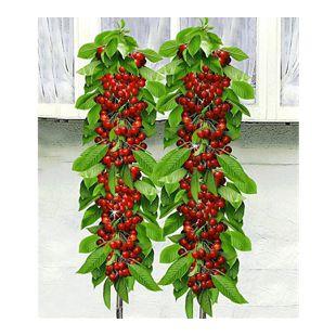 Säulen-Kirschen 'Sylvia® & Helena®', 2 Pflanzen Säulenobst, Kirschbaum