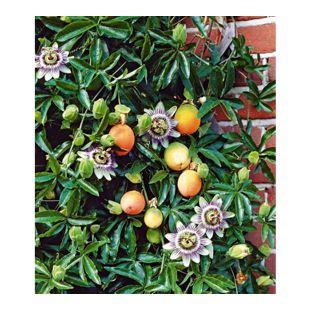 Maracuja-Pflanze 1 Pflanze Passiflora edulis Passionsblume Passionsfrucht
