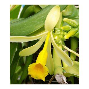 Echte Vanille Pflanze, 1 Topf Vanilla planifolia, Orchidee