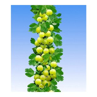 Gelbe Säulen-Stachelbeeren, 1 Pflanze, Ribes uva-crispa