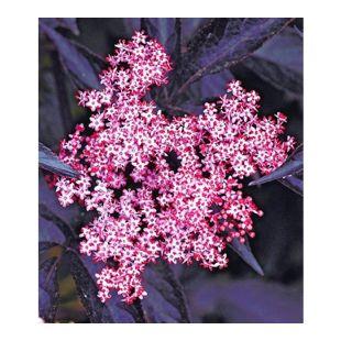 Schwarzer Holunder 'Sambucus nigra', 1 Pflanze