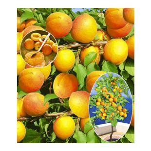 Aprikosen 'Compacta Super Compact®', Aprikosenbaum 1 Pflanze, Prunus armeniaca