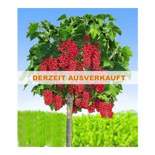 Johannisbeeren 'Rote Rovada', 1 Stamm, Ribes rubrum