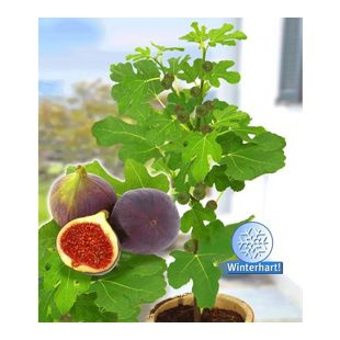 """Frucht-Feige """"Rouge de Bordeaux"""" groß,1 Pflanze Ficus carica Feigenbaum"""