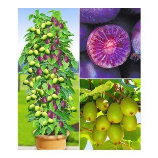 DUO-Kiwi-Turm-Kollektion, 1 Kens Red + Befruchter Nostino und 1 Issai Pflanzen Actinidia arguta winterhart