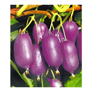 Kiwi Ken's Red® (inkl. Befruchter) 2 Pflanzen Actinidia arguta Kiwipflanze winterhart