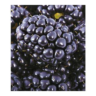 Brombeeren 'Big Max  XXL'®, 1 Pflanze, Rubus fruticosus