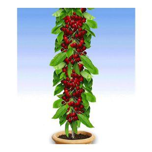 Säulen-Kirschen  'Stella', 1 Pflanze, Prunus avium