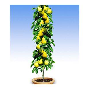 Säulen-Birnen 'Doyenné du Comice', 1 Pflanze, Pyrus communis