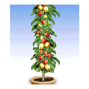 Säulen-Apfel 'Braeburn', 1 Pflanze
