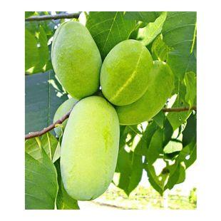 HÄBERLI'S Indianer-Banane® Prima®- veredelte Sorte 1 Pflanze, Asimina triloba veredelt winterhart