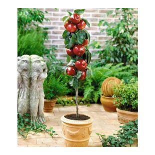 Befruchtersorte Apfel 'Gala', 1 Pflanze