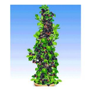 Säulen-Brombeeren Navaho® 'Big&Early', 1 Pflanze, Rubus fruticosa