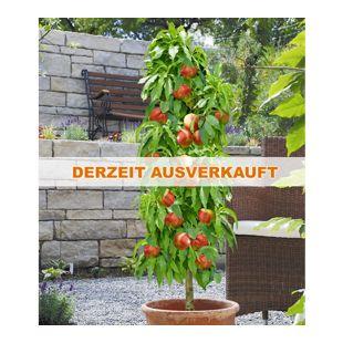 Säulen-Nektarine 'Licecol®', Nektarinenbaum 1 Pflanze Prunus persica