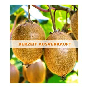 Selbstfruchtende,  großfruchtige Kiwi 'Solissimo® renact®', 1 Pflanze Actinidia deliciosa