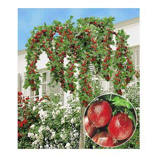 "Stachelbeer-Stämmchen ""Captivator"";1 Stamm Ribes uva crispa"