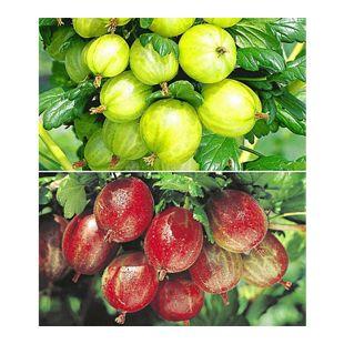 Stachelbeer-Sträucher-Set, 2 Pflanzen