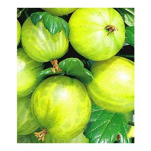 Stachelbeer-Stamm 'Gelbe Invicta®', 1 Stamm