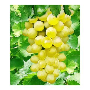 Kernlose Tafel-Trauben 'New York®' Weinreben, 1 Pflanze, Vitis vinifera
