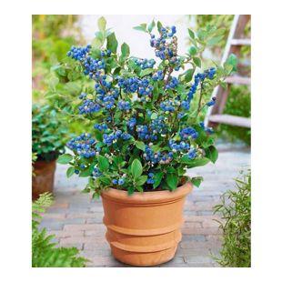Topf-Heidelbeere,1 Pflanze Vaccinium corymbosum Heidelbeere für Töpfe und Kübel