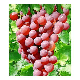 Kernlose Tafel-Trauben 'Vanessa®' Weinreben rot, 1 Pflanze, Vitis vinifera