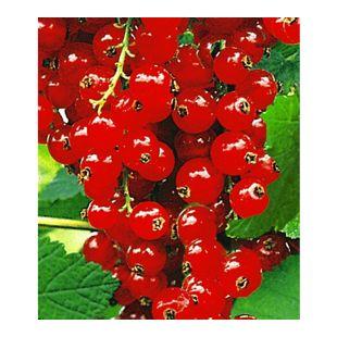Johannisbeeren 'Rote Rovada', 1 Strauch, Ribes rubrum