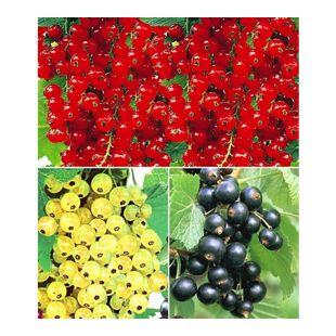 Johannisbeer-Kollektion schwarz, rot + weiß, 3 Sträucher Ribes Titania®, Versailler® und Rovada®