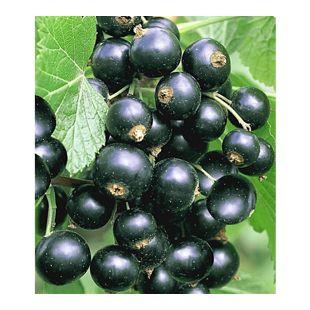 Johannisbeeren 'Schwarze Titania', 1 Strauch, Ribes nigrum