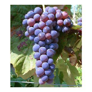 Kernlose Tafel-Trauben 'Venus®' Weinreben, 1 Pflanze, Vitis vinifera