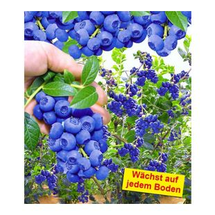 "Trauben-Heidelbeere ""Reka® Blue"", 1 Pflanze"
