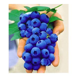 Gartenheidelbeeren 'Nui®', 1 Pflanze, Vaccinium corymbosum