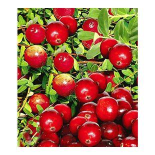 Cranberry-Beere, Moosbeere, 3 Pflanzen Vaccinium macrocarpon
