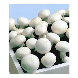 Weiße Edel-Champignons, Pilzzucht (Kulturset), 1 Set