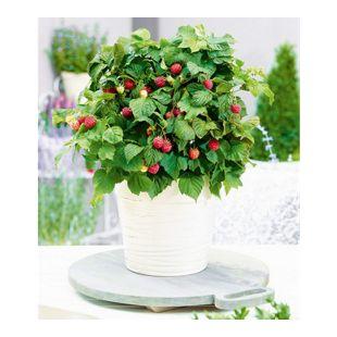 """Topf-Himbeere """"BonBonBerry® YUMMY"""";1 Pflanze Himbeeren für Töpfe und Kübel"""