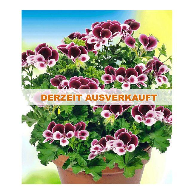 duft geranie pac angels perfume 3 pflanzen pelargonium. Black Bedroom Furniture Sets. Home Design Ideas